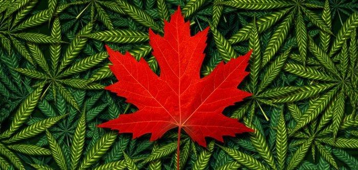 marijuana-canada-leaf-plants-735-350-700×333