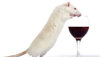 mouse wine (1)